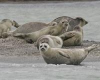 Historic German island is nursery for North Sea seals