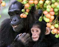 Territorial conflicts suppress female chimpanzees' reproductive success