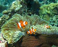 Losing Nemo: clownfish 'cannot adapt to climate change'