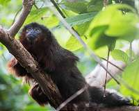 Titi monkeys support 'male services' theory for mammalian pair bonding