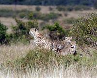 Court paves way for African cheetahs to be shipped to India