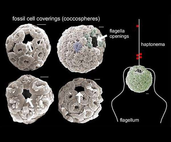 algal-plankton-fossil-cell-coverings-hg.jpg