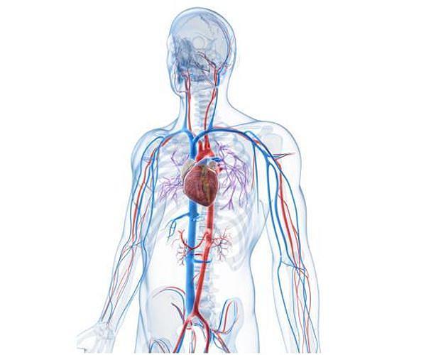 [Image: blood-system-vein-artery-heart-circulatory-hg.jpg]