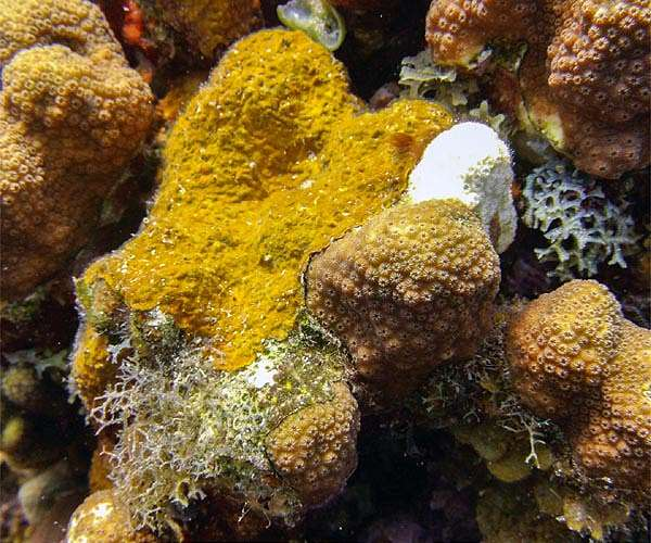 Caribbean coral reefs under siege from aggressive algae - Space Daily