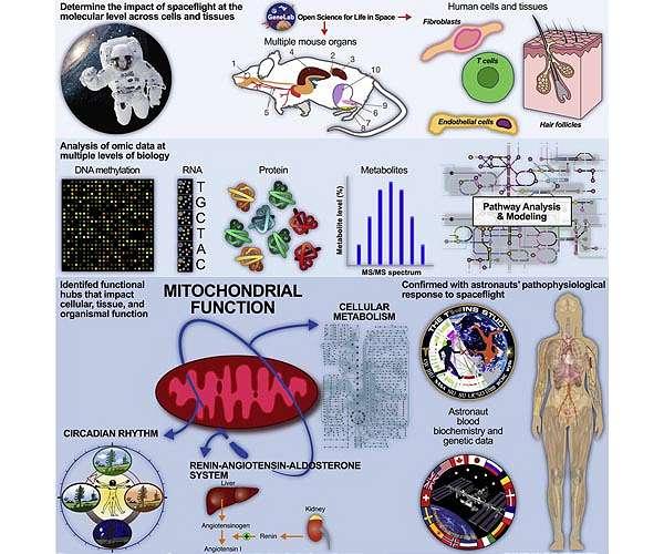 space-medicine-mitochondria-human-chart-hg.jpg
